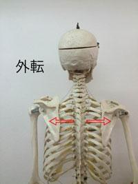 外転: 腕を押し出す動き(背中を開く)
