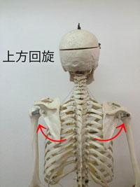 上方回旋:上腕を上に挙げる動き