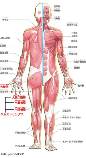 人間の筋肉の図、ハムストリングスと大臀筋の位置